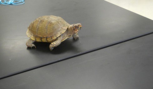 Box turtle visiting the classroom.
