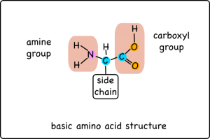 When excess amino acids are broken down the amine group becomes ammonia.