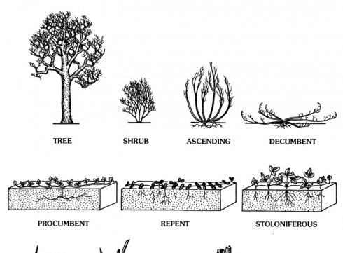 From: The vPlants Project. vPlants: A Virtual Herbarium of the Chicago Region. http://www.vplants.org