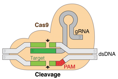 Crispr-Cas9. From Wikipedia