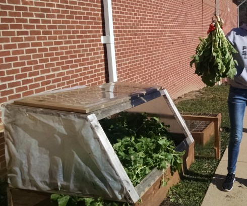 Harvesting turnip greens out of our vegetable boxes.