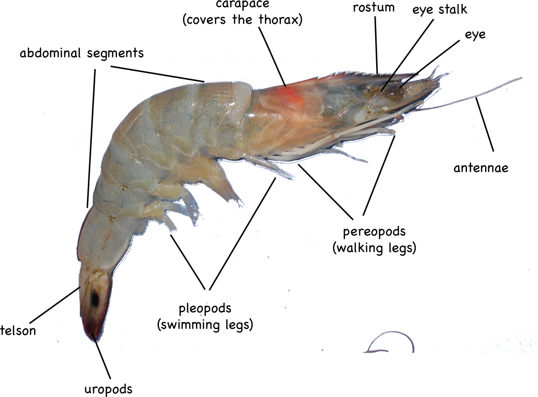 Shrimp | Montessori Muddle