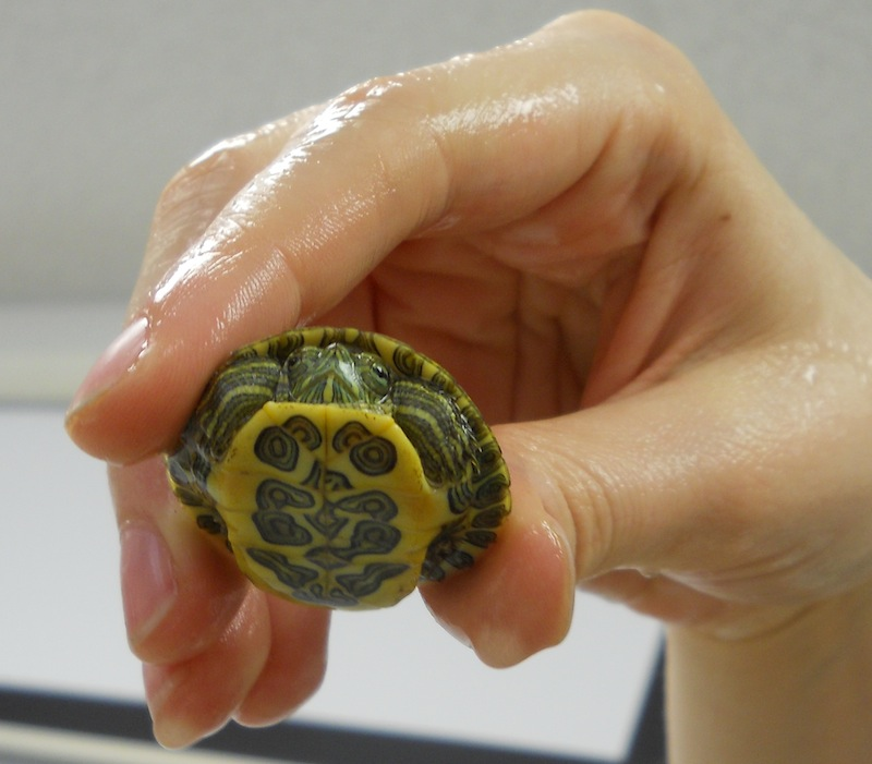 Full Grown Red Ear Slider Turtle